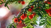 Giftige Pflanzen und Blumen